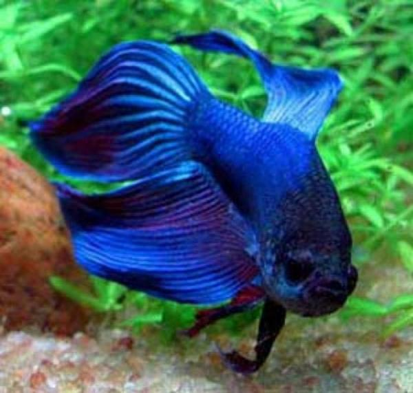 Рыбка петушок Betta Splendens