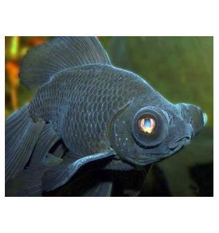Рыбка – Телескоп